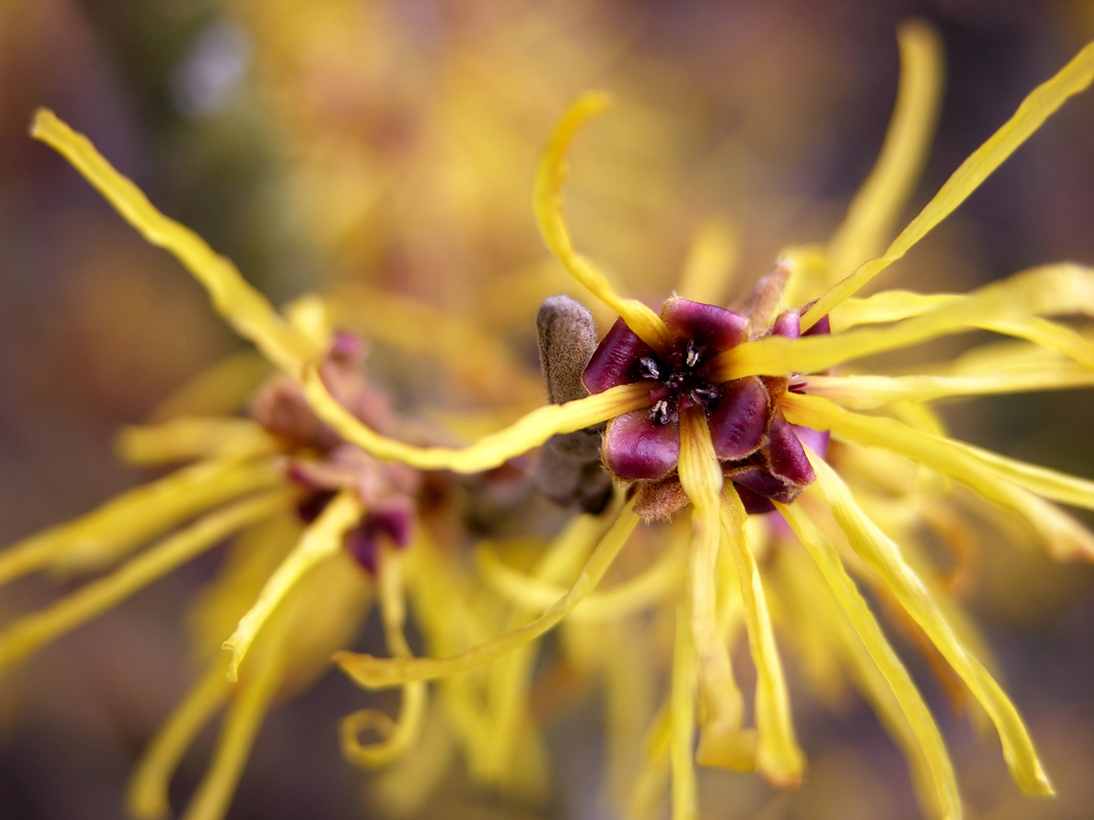 How to use witch hazel for your hair